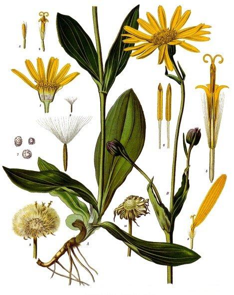 Arnica_montana_-_Köhler–s_Medizinal-Pflanzen-015.jpg